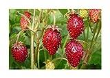 Fragaria vesca Alexandria - Monatserdbeere - 50 Samen