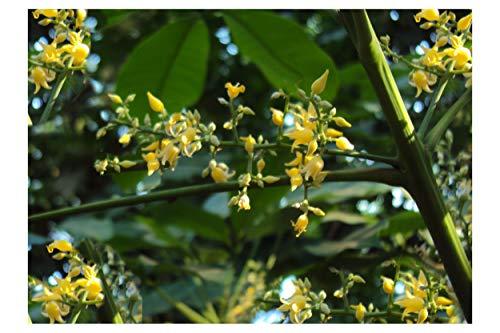 Hevea brasiliensis Para Gummi Samen Gelb Duftende Blumen Tropical Gartenarbeit (5) -