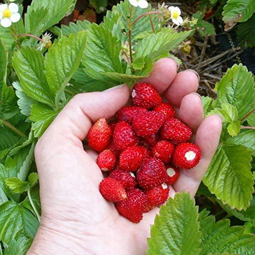 MEIGUISHA Gartensamen-100 Stück Erdbeeren Alpine Wild Strawberry Fragaria vesca Baron Solemacher Wald Erdbeeren kletter Samen Pflanze