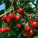 Dominik Blumen und Pflanzen, Kirschbaum, Süßkirsche