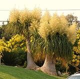 Beaucarnea recurvata, RARE elefante piede coda di cavallo di palma CAUDEX bonsai - 20 semi