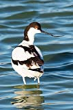 Pied Avocet Bird Journal: 150 page lined notebook/diary