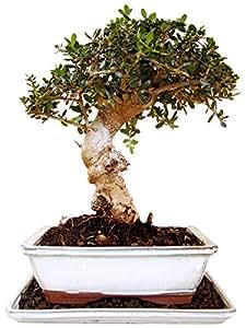 Bonsai Wild Olive (olea sylvestris), ca. 12 Jahre, ca. 33 cm hoch
