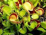 Dionaea muscipula Cross Teeth - - 5 semillas