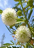 TROPICA - Weißkopf-Mimose ( Leucaena leucacephala )- 50 Samen