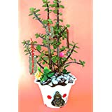 Holy Krishna Jade : The Feng Shui - Money Attracting Plant And Luck (Live Plant ) With Pot And Decorative Materials + Laxmi Atm Card