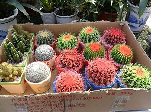 HATCHMATIC Umami Biologique Asiatique Microgreens graines - 12 grammes