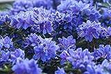 Rhododendron russatum Gletschernacht