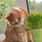 Semi di erba gatta