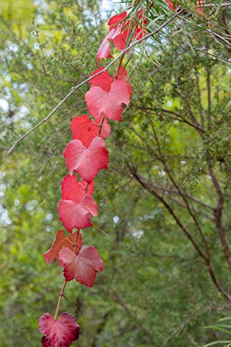 Red Grapevine Leaves in Autumn Journal: 150 Page Lined Notebook/Diary -