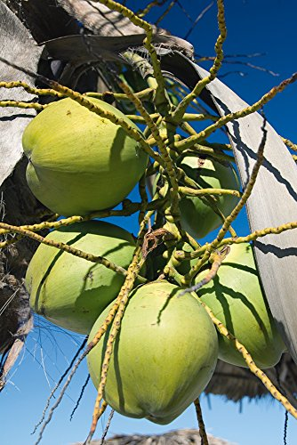 Artland Qualitätsbilder I Wandtattoo Wandsticker Wandaufkleber 40 x 60 cm Botanik Bäume Palme Foto Grün C8MB Kokosnüsse