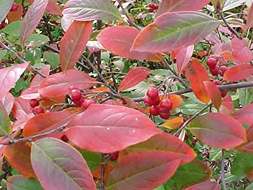 Shoopy Star 100 graines: graines de tomate - Grand Rouge cerise