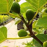 Pfälzer Fruchtfeige , Feigenbaum für den Garten, Ficus carica, Feigenbusch winterhart, Feige rot braun, im Kübel, 60 - 100 cm