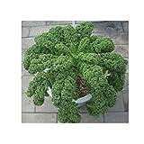 Kale Foglia riccio Kale Cavolo semi commestibili semi di calore Vegetable Seeds freddo 50 particelle / Bag