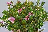 Almrausch Rhododendron hirsutum 25-30 cm breit im 5 Liter Pflanzcontainer