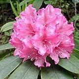 Semi Rosebay RODODENDRO Massimo Bianco Rosa Laurel Bush Arbusto di fiori