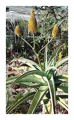 Aloe arborescens - Aloe de Krantz - Aloe candélabre - 10 graines