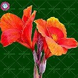 Neues angekommen! 10 PC/bag Canna Samen Staude Dekoration Topf Haus & Garten 95% Keimungrate Bonsai Blume Pflanze 1