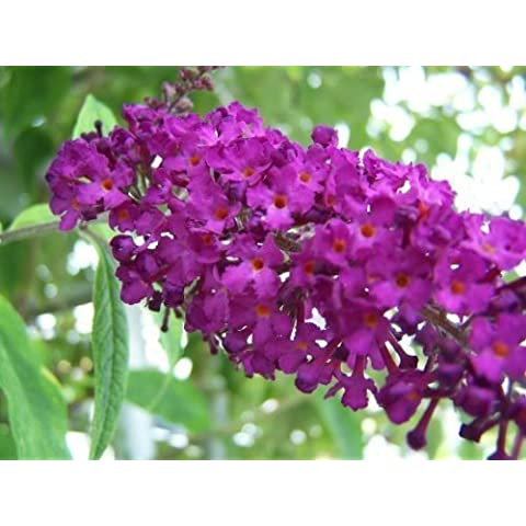 100 MIXED COLORS BUTTERFLY BUSH Buddleia Davidii Flower Shrub Seeds by Seedville