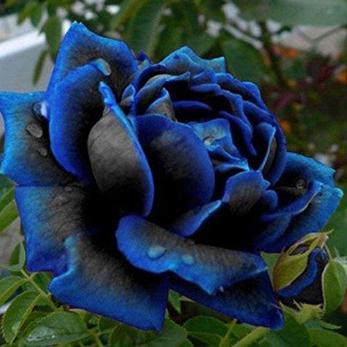 Ncient 20/50 Semillas de Rosa Azul Semillas Flores Raras Plantas Bonsai Semillas Fragantes para Jardín Balcon Interior y Exteriores