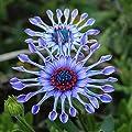 Keland Garten Riesen-Prinzess Wiesen-Gänseblümchen selten Sommeraster Herbstaster für Staudenbeete von Keland - Du und dein Garten