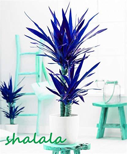 sanhoc 50 pezzi yucca bonsai piante in vaso al coperto vaso bonsai alta germinazione alto-garde bonsai evergreen anti-radiazioni: 2