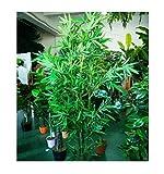 5x Bambus Palme Zimmerpflanze Samen Knolle Zimmerbambus Pflanze #261