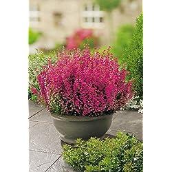 Winterheide Rubinfeuer - Erica carnea - mit purpur-roten, feurigen Blüten - Schneeheide Winterblüher Heide-Pflanze - von Garten Schlüter - Pflanzen in Top Qualität