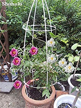 10 pièces rares graines Pivoine chinoise plantation de fleurs et jardin Paeonia Suffruticosa Graines Indoor Bonsai Fleurs Graines Plante 16