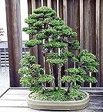 9Greenbox Sacred Japanische Zeder 35Samen?Cryptomeria japonica