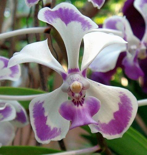 vanda-lilacina-orquidea-100-semillas