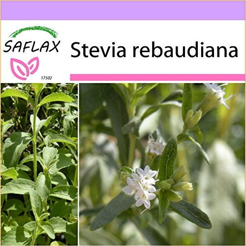 SAFLAX - Kräuter - Stevia Süßkraut - 100 Samen - Stevia rebaudiana