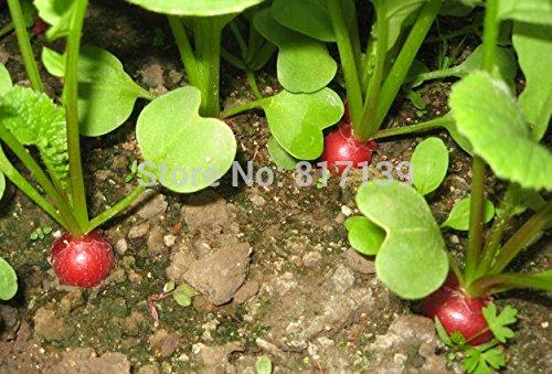 30 graines jardin des plantes de légumes CHERRY DIY BELLE RADIS Raphanus sativus Seeds Livraison gratuite