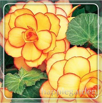 pinkdose 20 pz begonia pianta bonsai fiore pianta fai da te decorazione del giardino begonie bonsai in vaso facile da coltivare albero nana piante da appartamento: 12