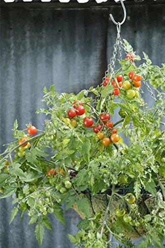 Kings Seeds Bild Paket Gemüse Tomate Lizzano F1 7 Samen