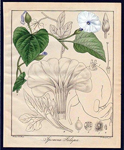 Ipomoea Jalapa - Prunkwinden Jalape morning glories Kupferstich engraving antique print -
