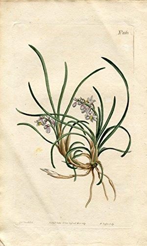 Ophiopogon Japonicus - Japan Snakesbeard. Altkolorierter Kupferstich (Aus: Curtis' Botanical Magazine, No. 1063).