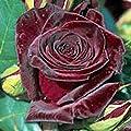 Edelrose 'Black Baccara' -R-, A-Qualität Wurzelware von Rosen-Union auf Du und dein Garten