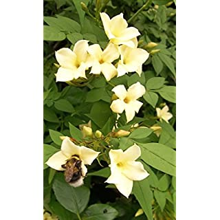Jasmine officinale Clotted Cream climbing plant rich cream scented summer flowers popular with bees 1 litre pot FREE DELIVERY