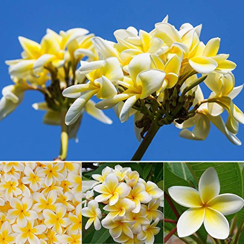 Keland Garten - Thailand Plumeria rubra echte Frangipani Blume Samen duftend - Summer Moon, ideal für den Wintergarten (Gelb 10 Samen)