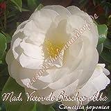 Kamelie 'Mad. Victor de Bisschop Alba' - Camellia japonica, Grupo de precio:4