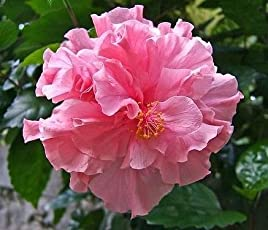 Live Hibiscus/Gudhal Pink Double Flower Plant - Healthy Beautiful Flower Plant