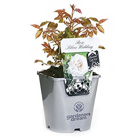 SILVER WEDDING - GardenersDream® Potted Gift Rose Wedding / Anniversary