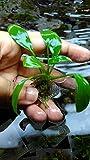 #3: Petlinks Live Aquarium Plant - Anubias Congensis Tissue Cultured