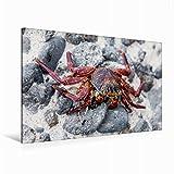 Premium Textil-Leinwand 120 cm x 80 cm quer Rote Klippenkrabbe (Grapsus grapsus) auf der Galapagos Insel Floreana | Wandbild, Bild auf Keilrahmen. Leinwand, Leinwanddruck (CALVENDO Tiere)