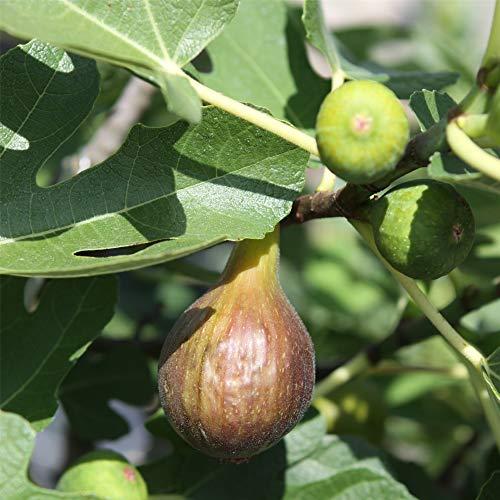 lichtnelke - Feigenbaum (Ficus carica) Bornholm