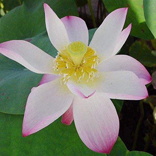 DaDago 10Pcs White Bowl Lotus Seeds Jardín Planta