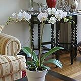Phalaenopsis Orchidee weiß - 1 pflanze