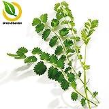 10Seed / Lot Pimpinelle Seed Sanguisorba minor Samen Küchenkräuter Kochen Kräuterpflanzen Einfach Kultiviert Topf Bonsai
