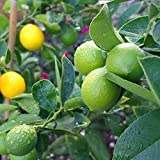 Imposes 10/20/50 Stück Zitronenbaum Samen Zitrone Citrus Limon Zitruspflanze Bonsai Parfüm Lemon Seeds